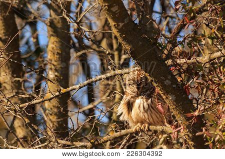 A Barred Owl In Relax Mode As It Sits Soaking Up The Sun On A Very Cold Day At The Keystone Wma Loca