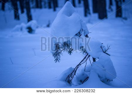 Sharp Hat Of Snow On A Young Pine In The Night Forest Dramatic And Mysterious Atmosphere Of No One A
