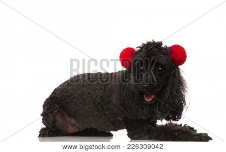 side view of a cute poodle wearing earmuffs and lying down on white background