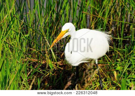 A Great Egret Caught A Little Fish In The Marshes Of The Everglades National Park Located In Florida