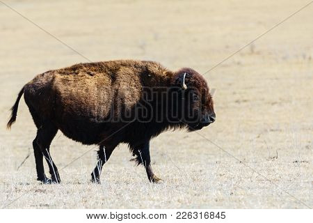 A American Bison Standing In Baron Landscape Of The Tallgrass Prairie Preserve In Pawhuska, Oklahoma