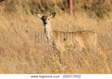 A White-tailed Deer Stands Within The Taa Grass At The Tallgrass Prairie Preserve In Pawhuska, Oklah