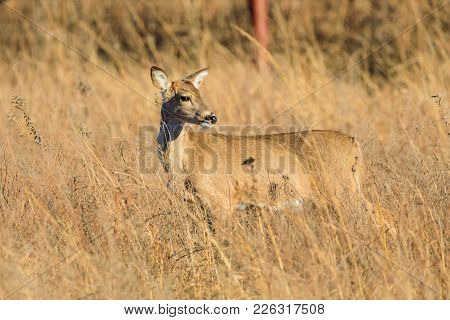 A White-tailed Deer Looks Towards The Setting Sun At The Tallgrass Prairie Preserve In Pawhuska, Okl