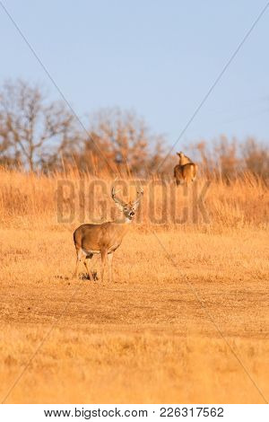 A White-tailed Buck Stands Watch Over His Herd At Tallgrass Prairie Preserve In Pawhuska, Oklahoma