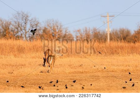 A Flock Of Crows Surrourd A White-tailed Buck And Doe At The Tallgrass Prairie Preserve In Pawhuska,