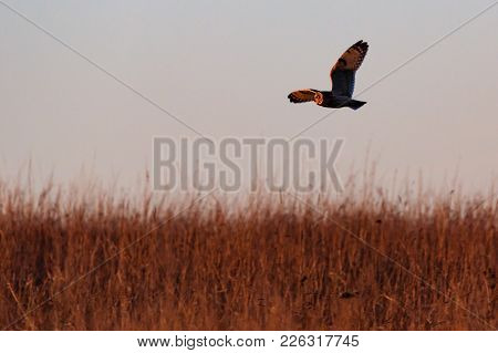A Short-eared Owl Flying Over The Grass In Search For Its Evening Meal At The Tallgrass Prairie Pres