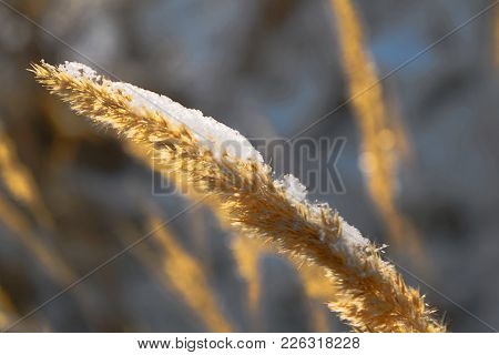 A Stalk Of Fluff Is Covered With Hoarfrost