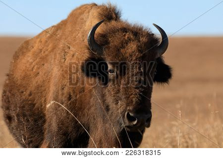 Bison Stand Strong In The Dry Winter At The Tallgrass Prairie Preserve In Pawhuska, Oklahoma