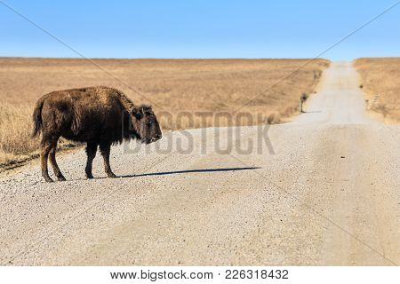 A Young Bison Stands In A Gravel Road With Little Fear Of Traffic At The Tallgrass Prairie Preserve