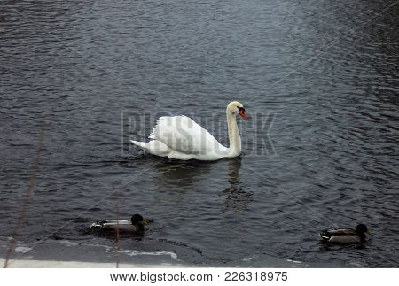 White Swan Lonely On An Ice Of Partly Frozen River In Cloudy Winter Day Inbetween The Crown Of Ducks