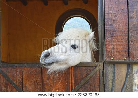 Pony Horse Ready To Go Out Of The Stable