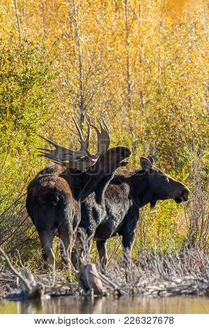 A Bull And Cow Shiras Moose In The Fall Rut