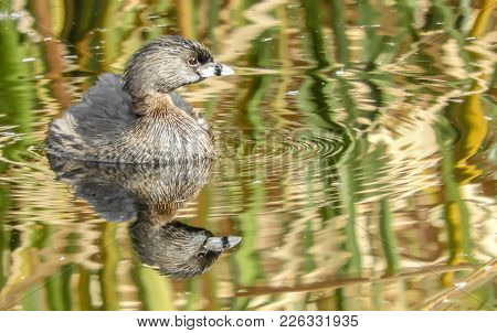 Pied Billed Grebe In Lake In Tucson Arizona With Reflection In Lake