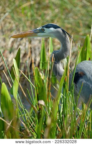 A Great Blue Heron Hunting For Prey In The Tall Grass Near The Water In The Everglades.