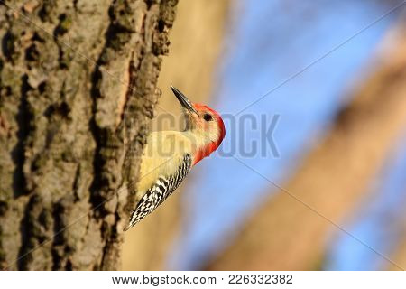 A Red-bellied Woodpecker Perched On The Side Of A Tree With A Blue And Tan Background.