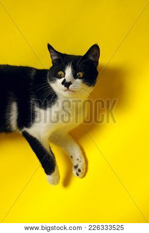 Pets, Animals Concept. Cute Tuxedo Cat With Funny Face.tuxedo Cat Over Yellow Background. Close Up O