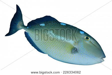 Triggerfish reef fish isolated on white background