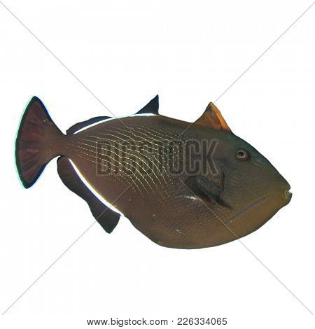Black Triggerfish reef fish isolated on white background