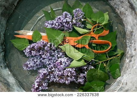 Large Metal Heavy Orange Scissors Among The Branches Of A Blossoming Lilac With Small Flowers Of Pur