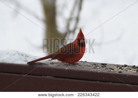 Male Northern Cardinal Perched On A Back Deck Porch In Winter Eating Bird Seed Red Animal Bird Feath