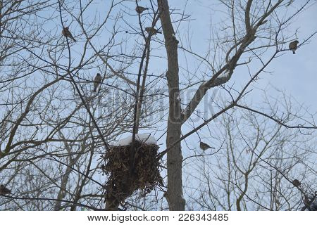 Flock Of House Finches Perched On Tree Branches Around A Snow Covered Birds Nest In Winter