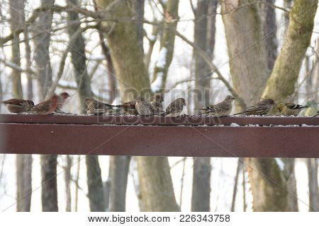 Flock Of House Finches, House Sparrows, Golden Finches On A Back Deck Porch Railing In Winter Eating