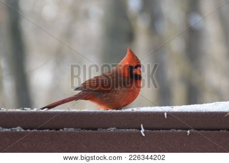 Animal Bird Male Northern Cardinal - Cardinalis Cardinalis Perched On A Back Porch Deck In Winter