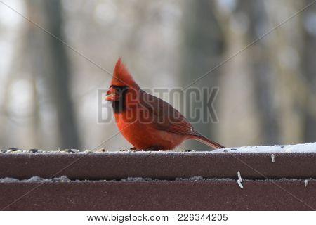 Male Northern Cardinal Animal Bird - Cardinalis Cardinalis Perched On A Back Porch Deck In Winter