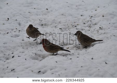Flock Of House Finches Hopping In The Snow In Winter Animal Birds