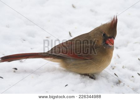 Female Northern Cardinal Bird Animal With Beak Covered With Snow Perched At A Snow Covered Ground