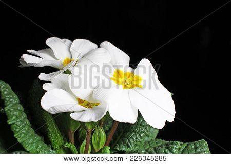 Primula. Flower Plant Primula Closeup On Black Reflective Studio Background. Isolated Black Shiny Mi