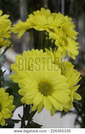Beautiful Yellow Chrysanthemum Flower Bloom, Stock Photo