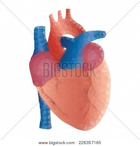 Polygonal Human Heart  In Low Poly Polygon Style Illustration, Isolated On White Background. Anatomi