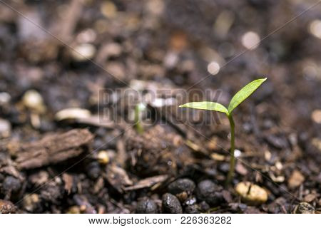 Green Italian Parsley Sprout Growing On Soil