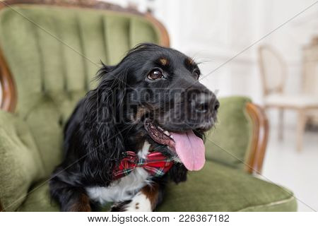 Dog Spaniel In A Red Bow Tie In The Interior Of The Light Room. Pet Is Three Years Old. Red Checkere