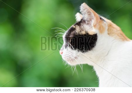 Portrait Of Tricolor Cat Looking Something, Cute Animal And Pet