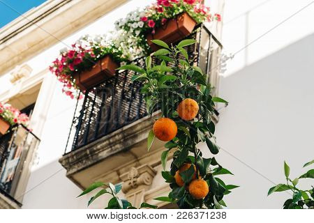 Low Angle View Of Orange Tree Against Background Of Typical Balcony Decorated With Colorful Flower P