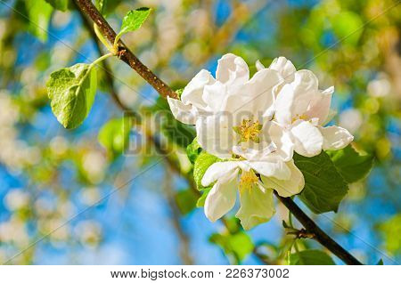 Spring Background With Flowers Of Blooming Spring Apple Tree Under Sunlight, Focus At The Central Ap