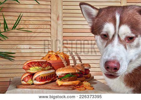 Husky Dog Sits Sad Next To The Burgers. Red Siberian Husky Wants Hot Dog And Hamburger With Meat.