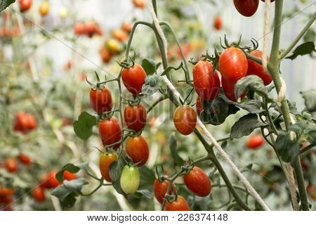 Tomato Plant In Garden Of Agricultural Plantation Farm At Countryside