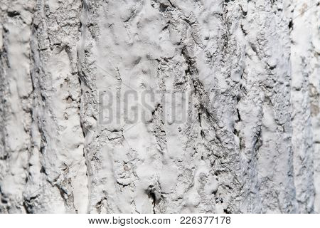 Tree Bark In Whitewash. White Bark Of Tree
