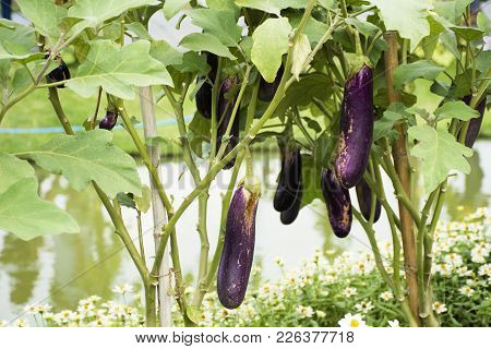 Purple Long Eggplant Or Solanum Melongena Plant In Garden Of Agricultural Plantation Farm At Country