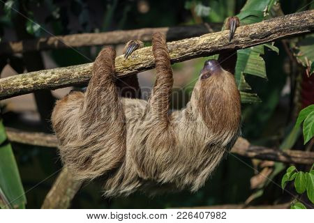Linnaeus's two-toed sloth (Choloepus didactylus), also known as the southern two-toed sloth.