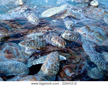 Marine Turtles At Isla Mujeres - Mexico