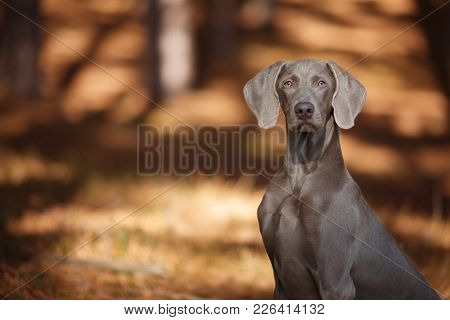 Beautiful Hunting Dog Weimaraner Looking At The Camera For A Walk In The Woods Portrait