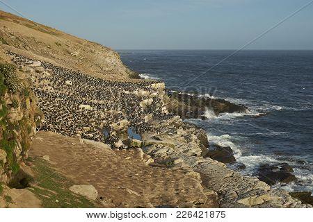 Large Breeding Colony Of Imperial Shag (phalacrocorax Atriceps Albiventer) On The Coast Of Carcass I