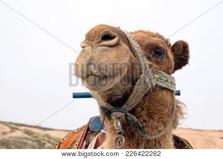 Camels Are One Of Touristic Transportation Way In Cappadocia.