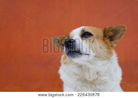 White And Frown Ugly Dog Look Arrogant. She Is Like A Real Boss. Concept O Animal Body Language.