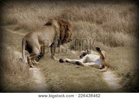 A Couple Of Lion And Lioness In The Wild Sabana