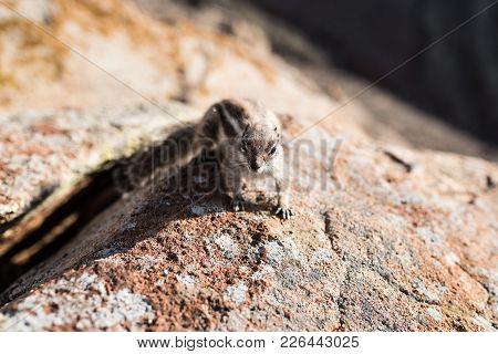 Close-up Of Barbary Ground Squirrel On Rocks On Island Of Fuerteventura